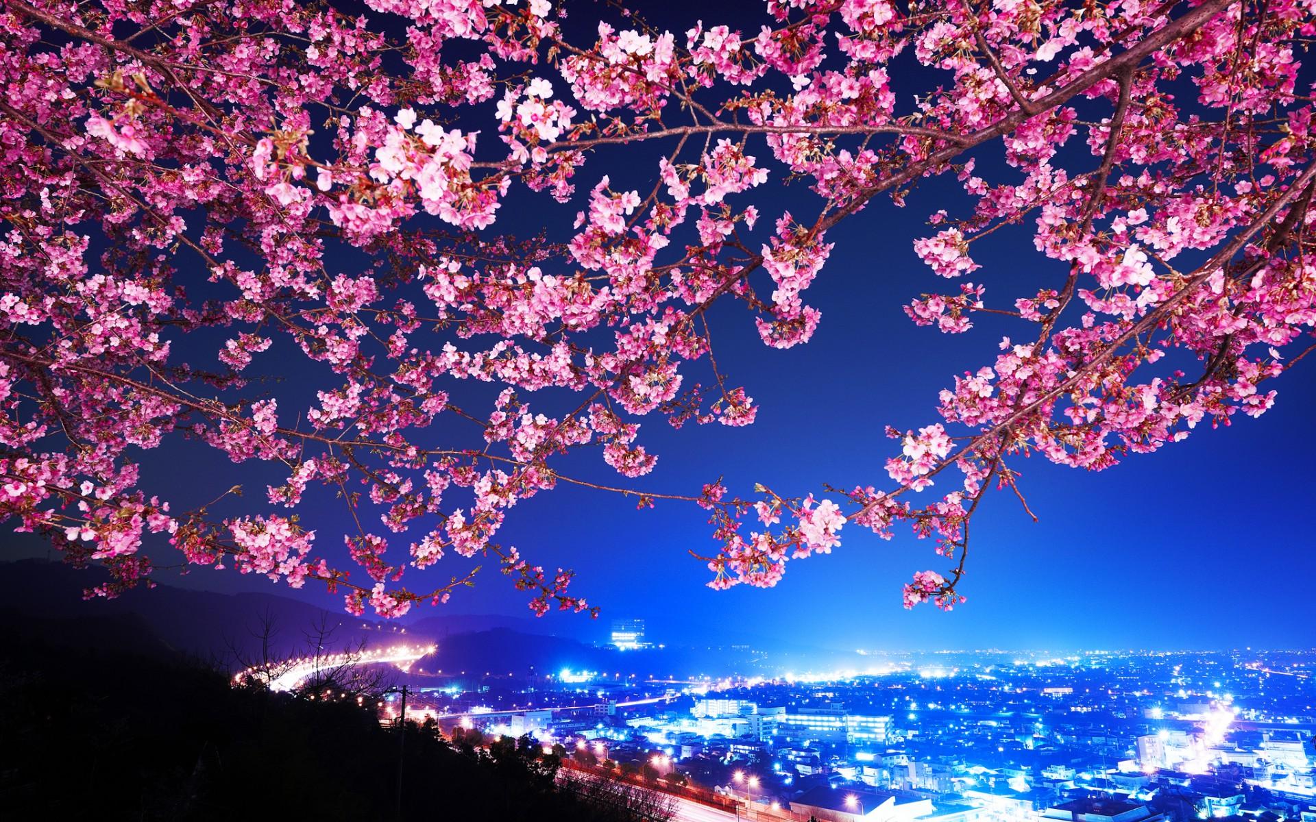 37 Japanese Cherry Blossom Wallpaper 1920x1080 On
