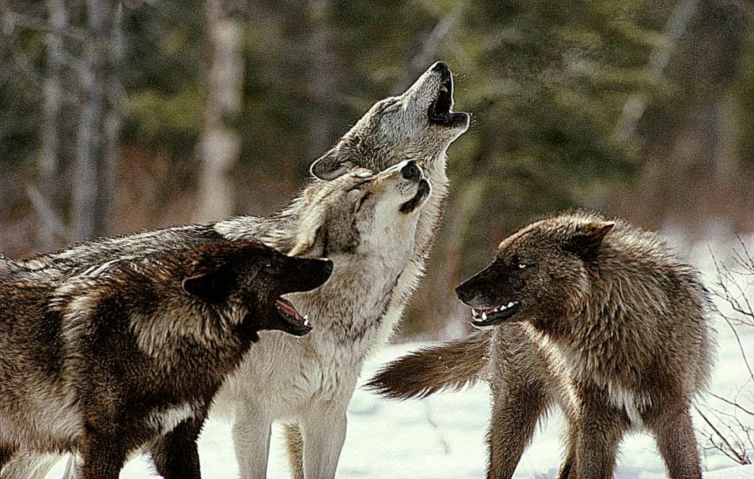 Wolfs Roar Hd Wallpaper Photo Wallpapers 1056x672