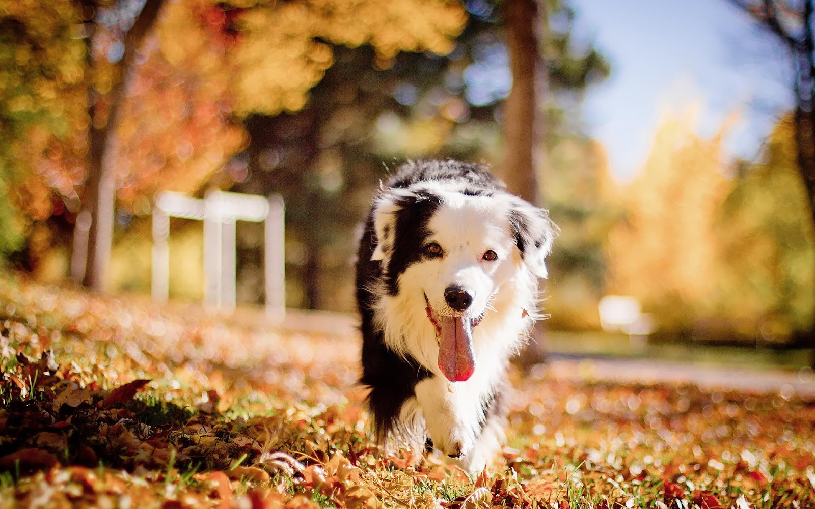 Autumn wallpaper with a black white dog Download Best Wallpaper 1600x1000