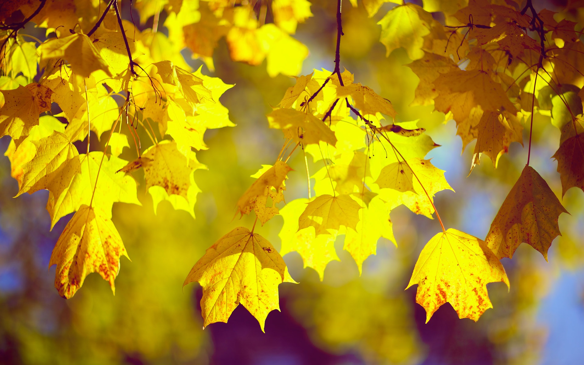 Fall leaves 1920x1200 Wallpaper 1920x1200