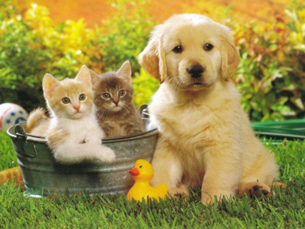 Cute Puppy Golden Retriever and cats Wallpaper for your 1024x768