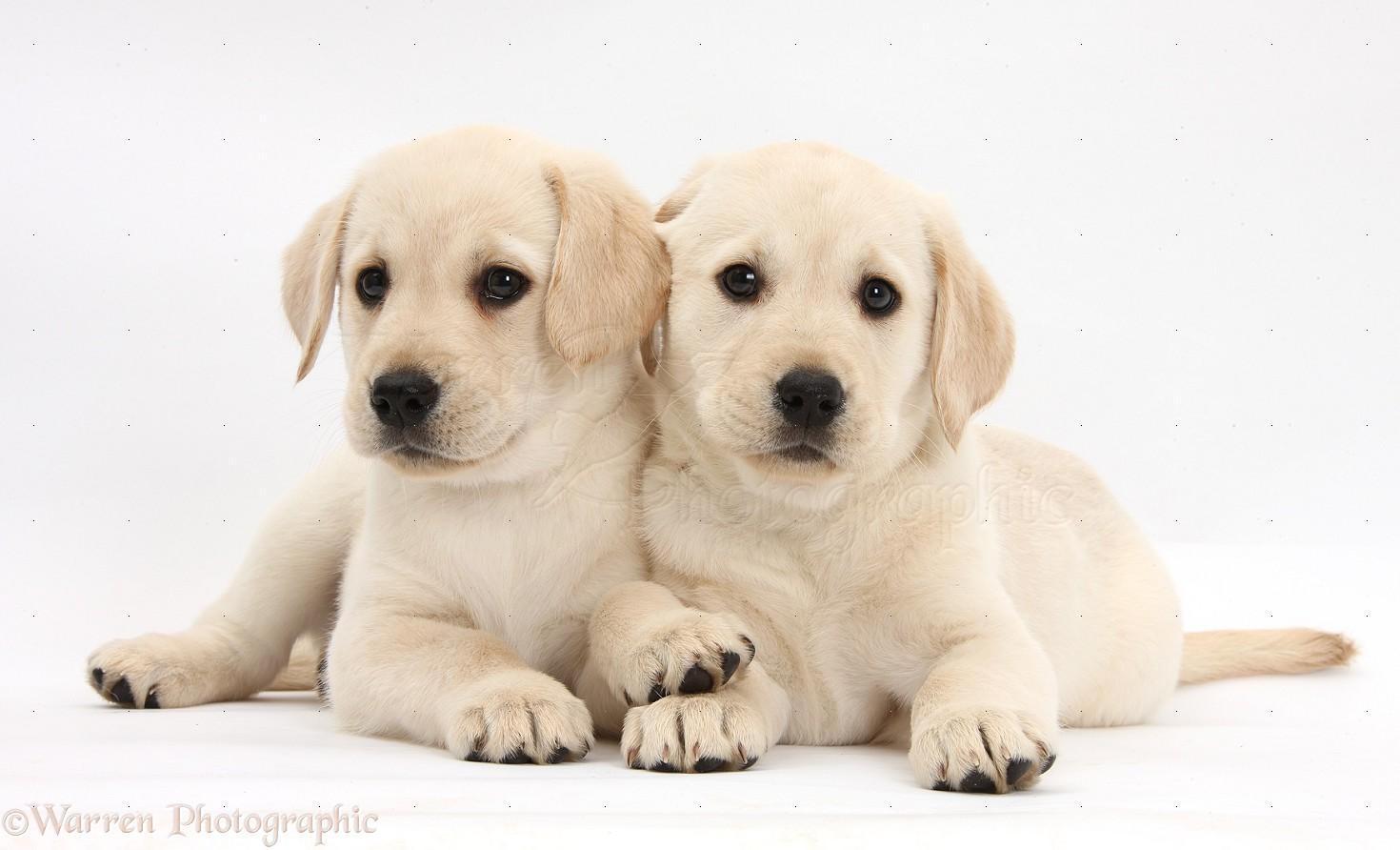 yellow lab puppy wallpaper - photo #14