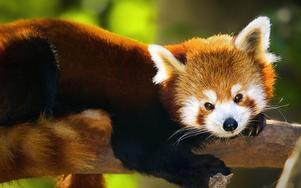 Cute Red Pandas Wallpapers 1000x625