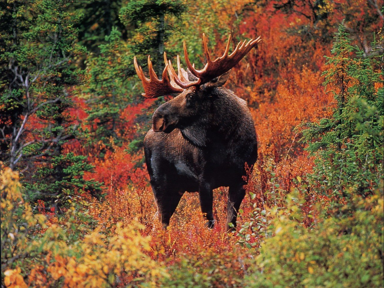 in Fall colors animal and wildlife computer desktop wallpaper 1280x960