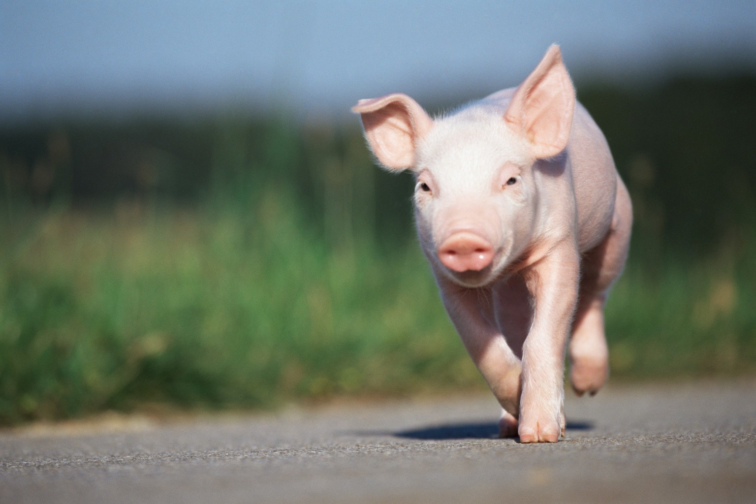 Pictures Of Cute Baby Pigs   Desktop Backgrounds 1536x1024