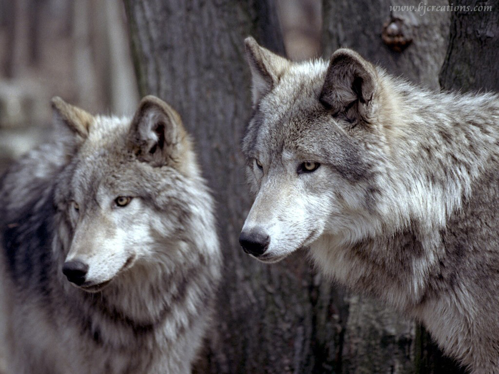 wolf   Wolves Wallpaper 32863741 1024x768