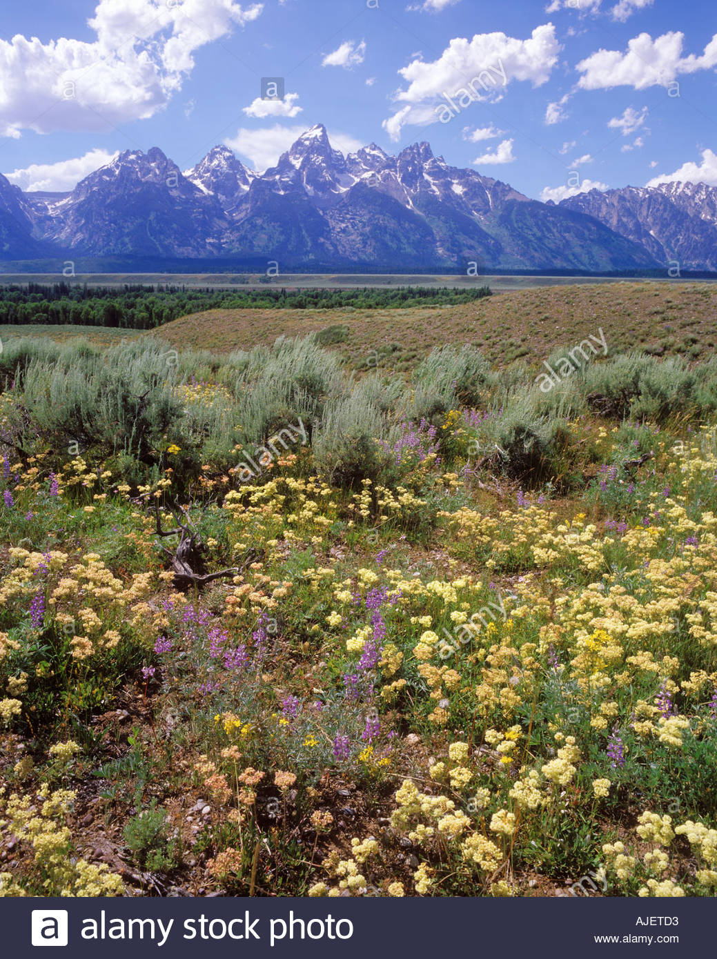 Sage and summer wildflowers with the Grand Tetons in the 1039x1390
