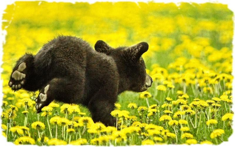 <b>Grizzly Bear Cubs</b> - <b>wallpaper</b>.