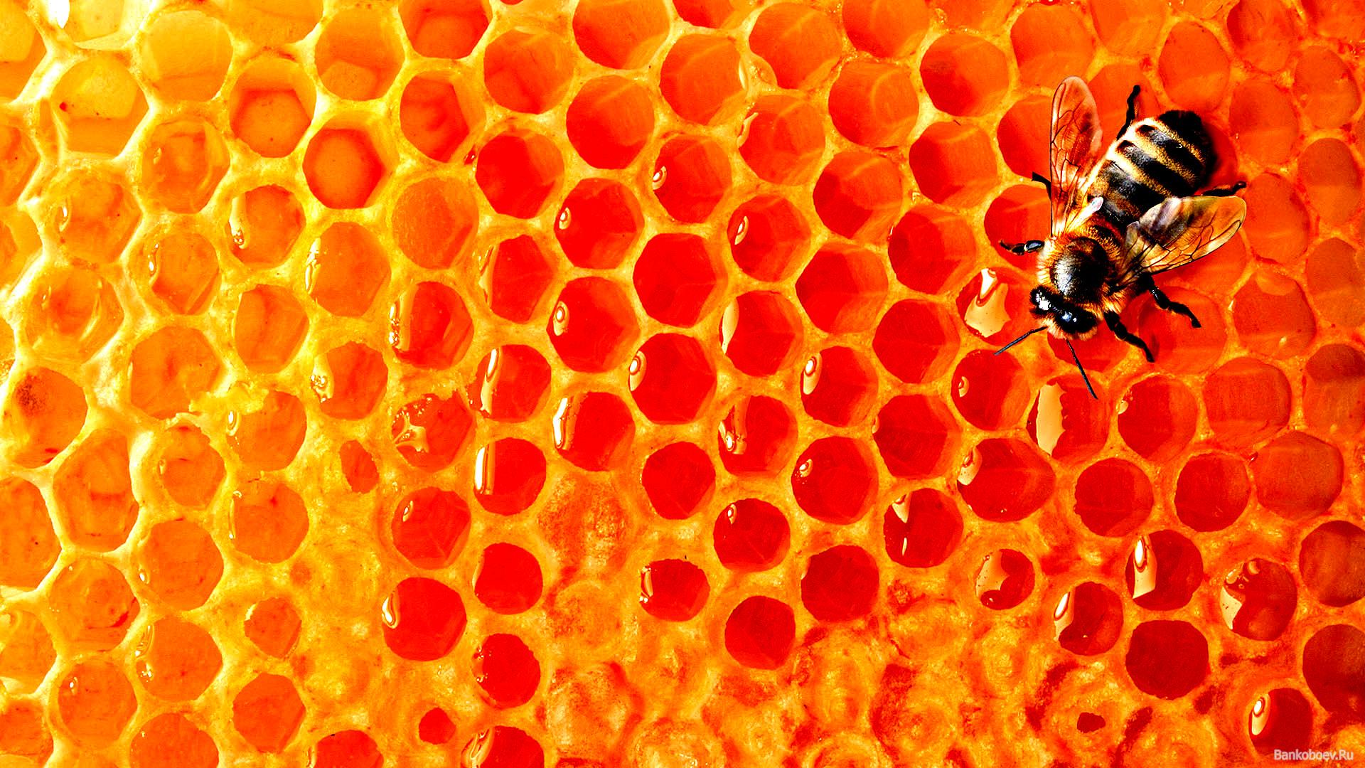wallpaper bee Honey honey honeycomb download photo wallpapers 1920x1080