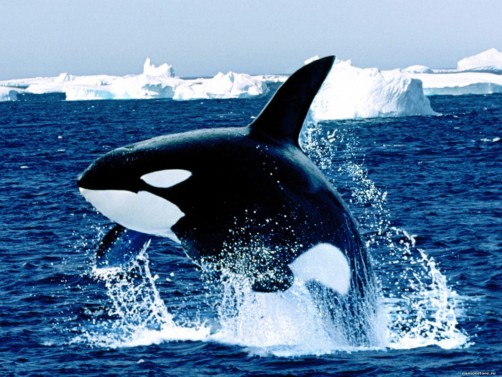Killer Whale among ice floes dark blue sea whales 1600x1200