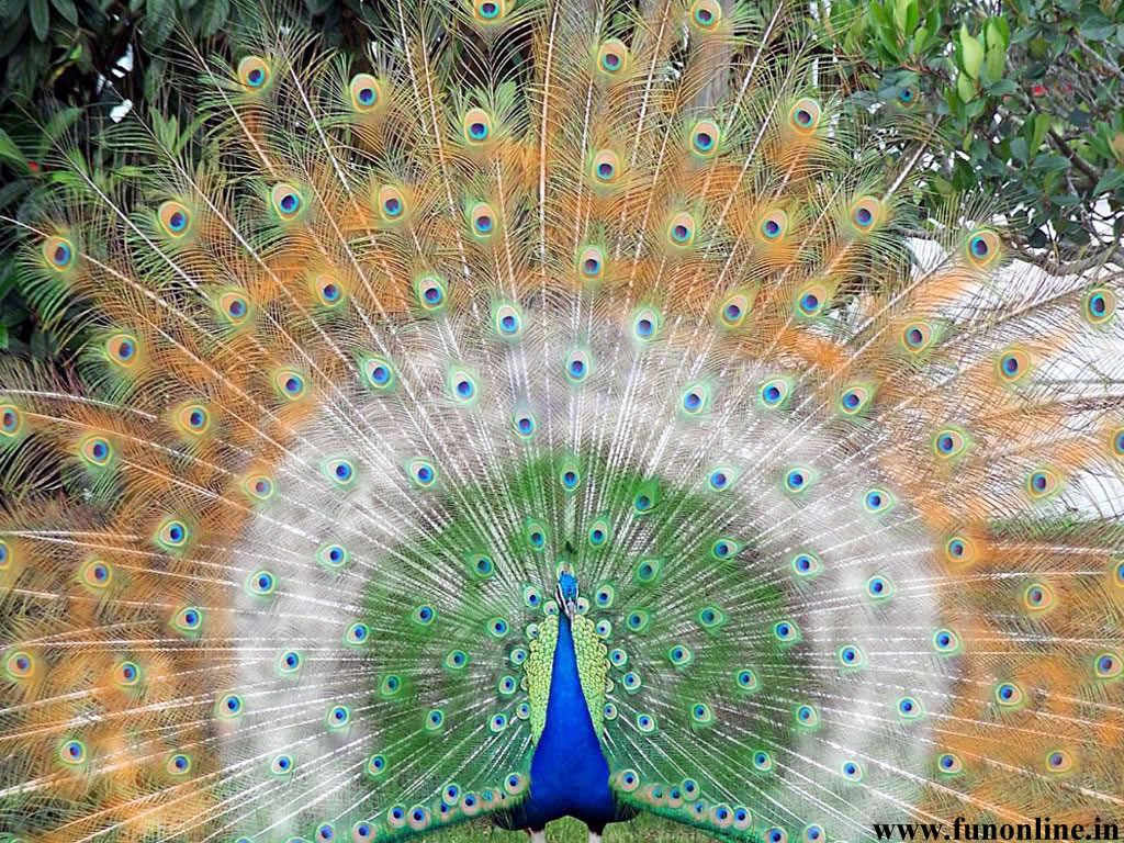 Peacock Wallpapers Download Indian National Bird Peacock Wallpapers 1024x768