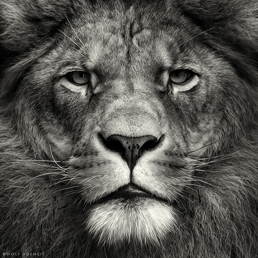 HD Lion Pictures Lions Wallpapers   HD Animal Wallpapers 850x850