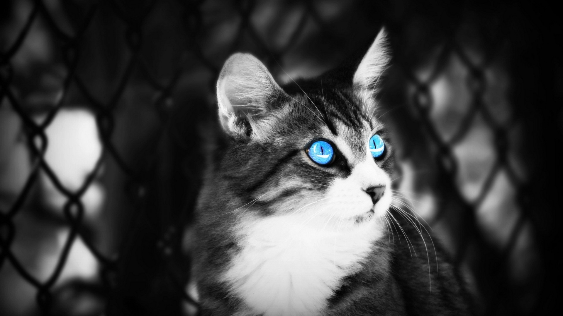 Free Download Blue Eyes Cat Black And White Hd Wallpaper Blue Eyes Cat Black And 1920x1080 For Your Desktop Mobile Tablet Explore 49 Dark Blue And White Wallpaper Dark