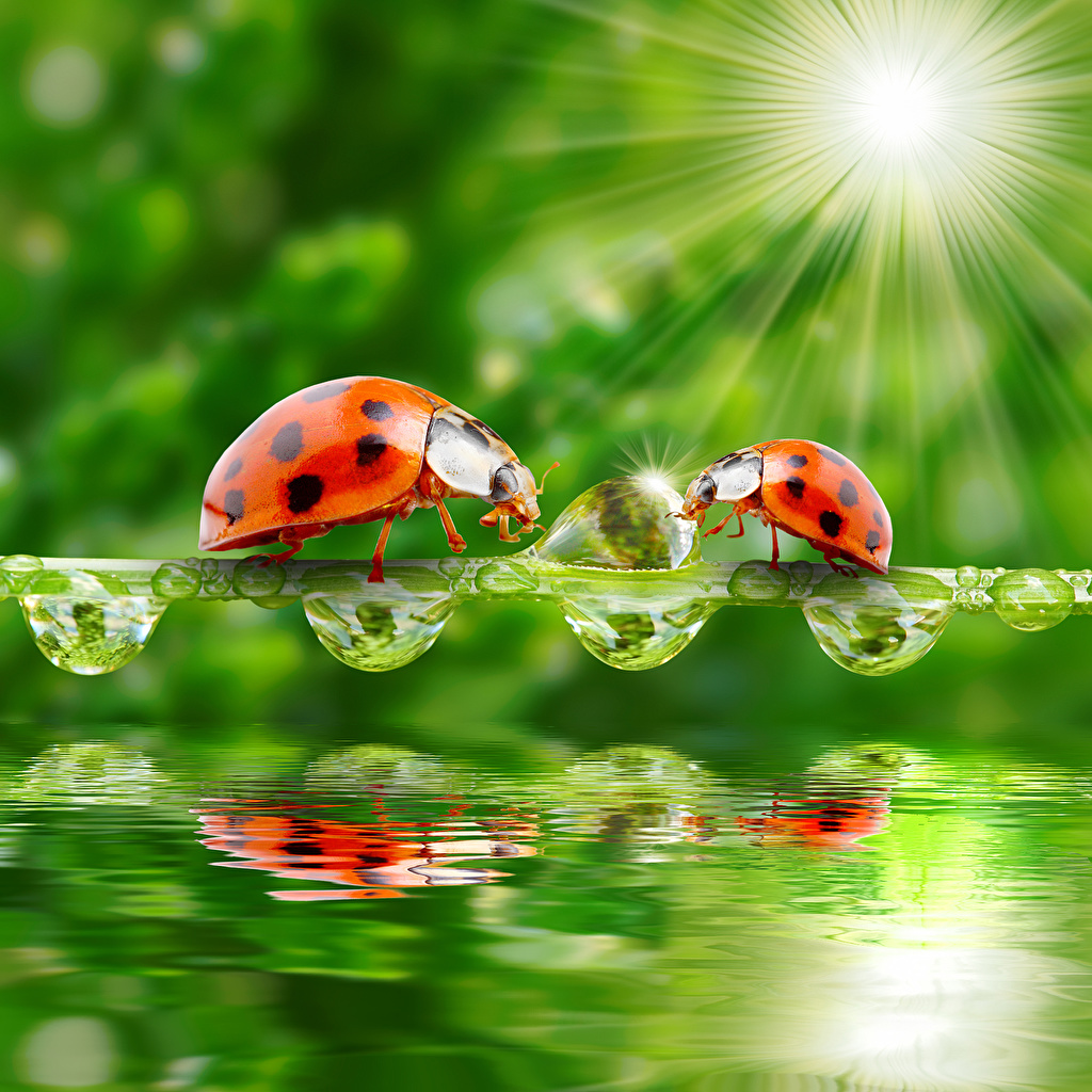 Wallpapers Rays of light Ladybird 2 Drops Water animal 1024x1024