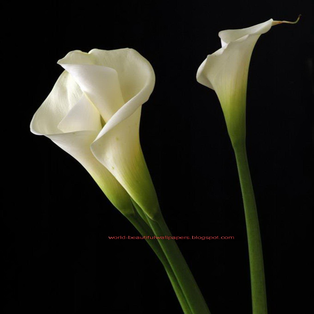 Beautiful Wallpapers calla lily flowers wallpaper 1099x1100