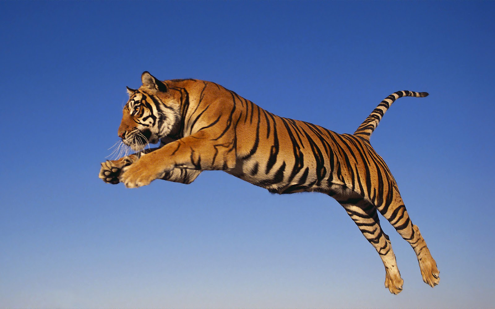 Flying Tiger Wallpapers 1600x1000