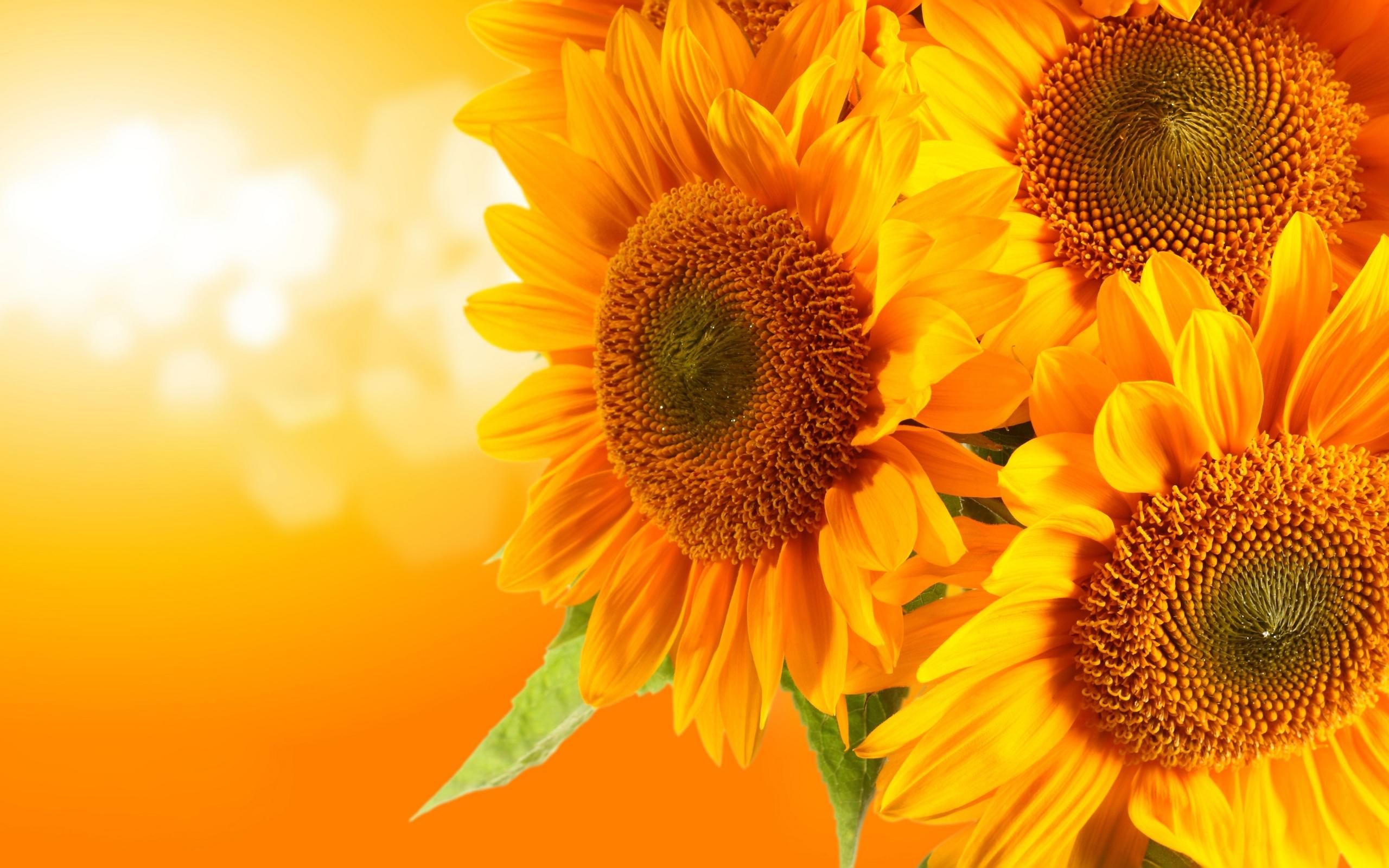 Flowers Images Orange Sunflower Wallpaper Photos 34611427