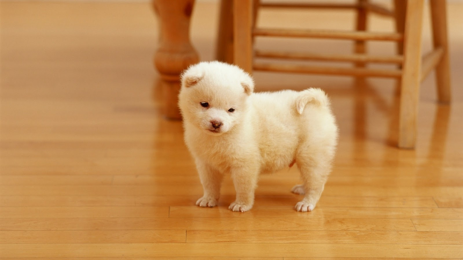 Cute White Puppy Desktop Wallpaper What a cute looking puppy desktop 1600x900