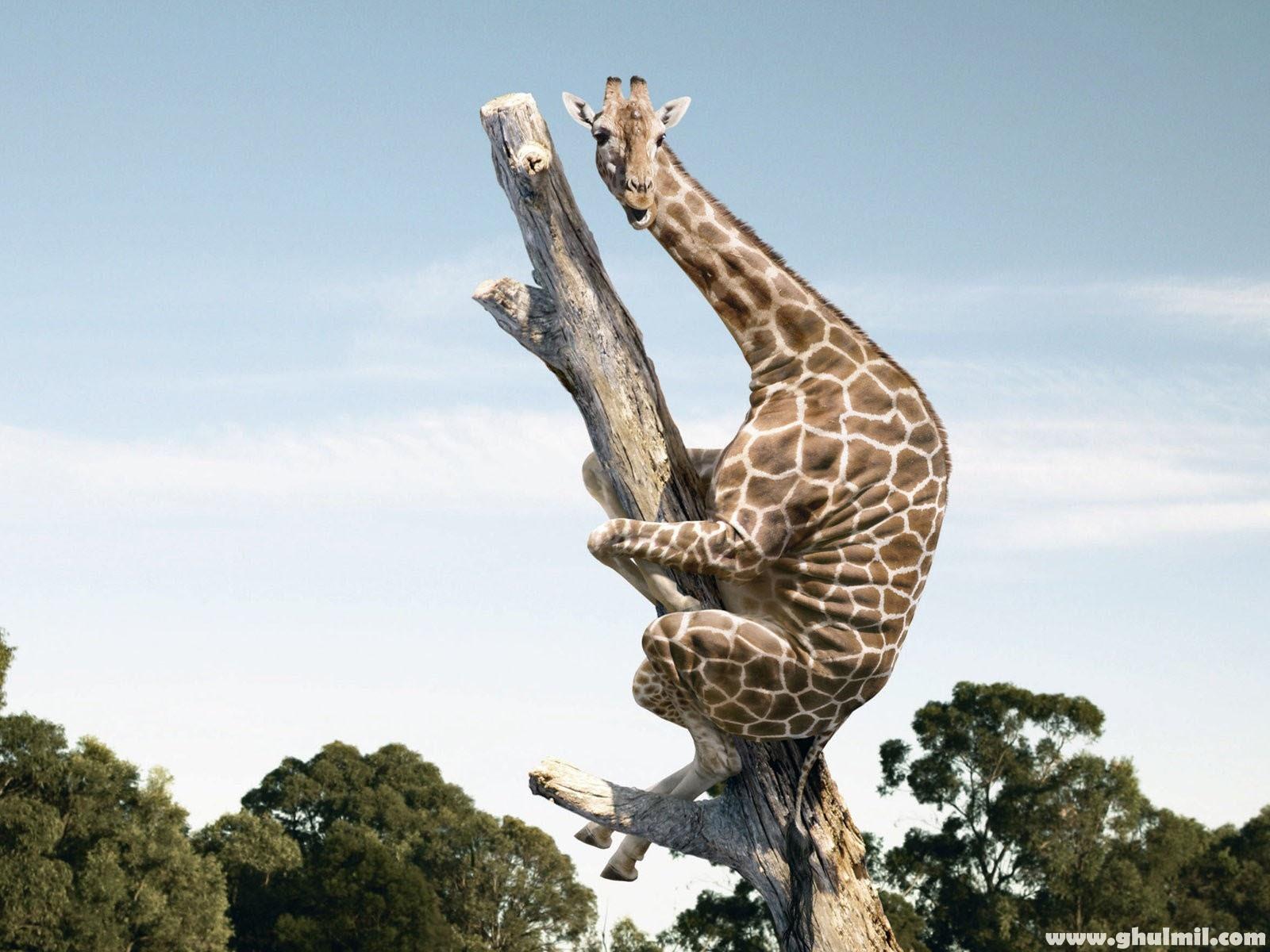 Working Giraffe Wallpapers 1600x1200