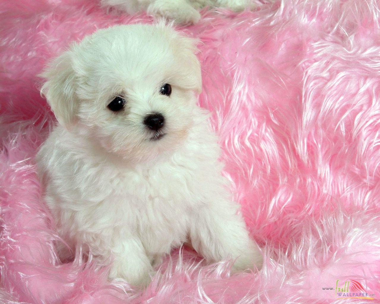 белые собаки щенки животные розовый фон  № 2918101 загрузить