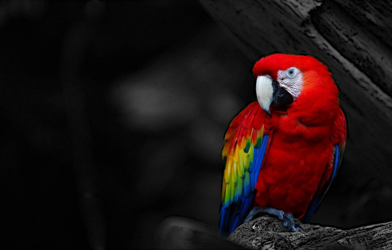 Wallpaper red bird parrot black and white images for desktop 1332x850