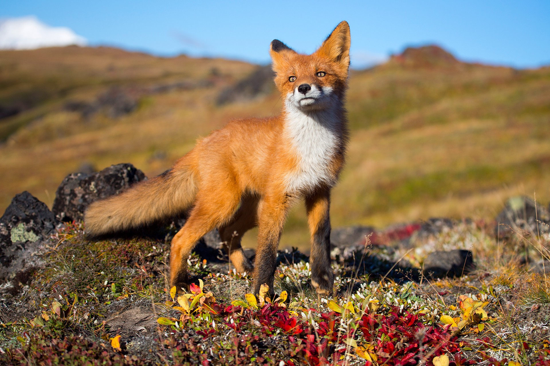 fox Animals Wildlife Wallpapers HD Desktop and Mobile 1920x1280