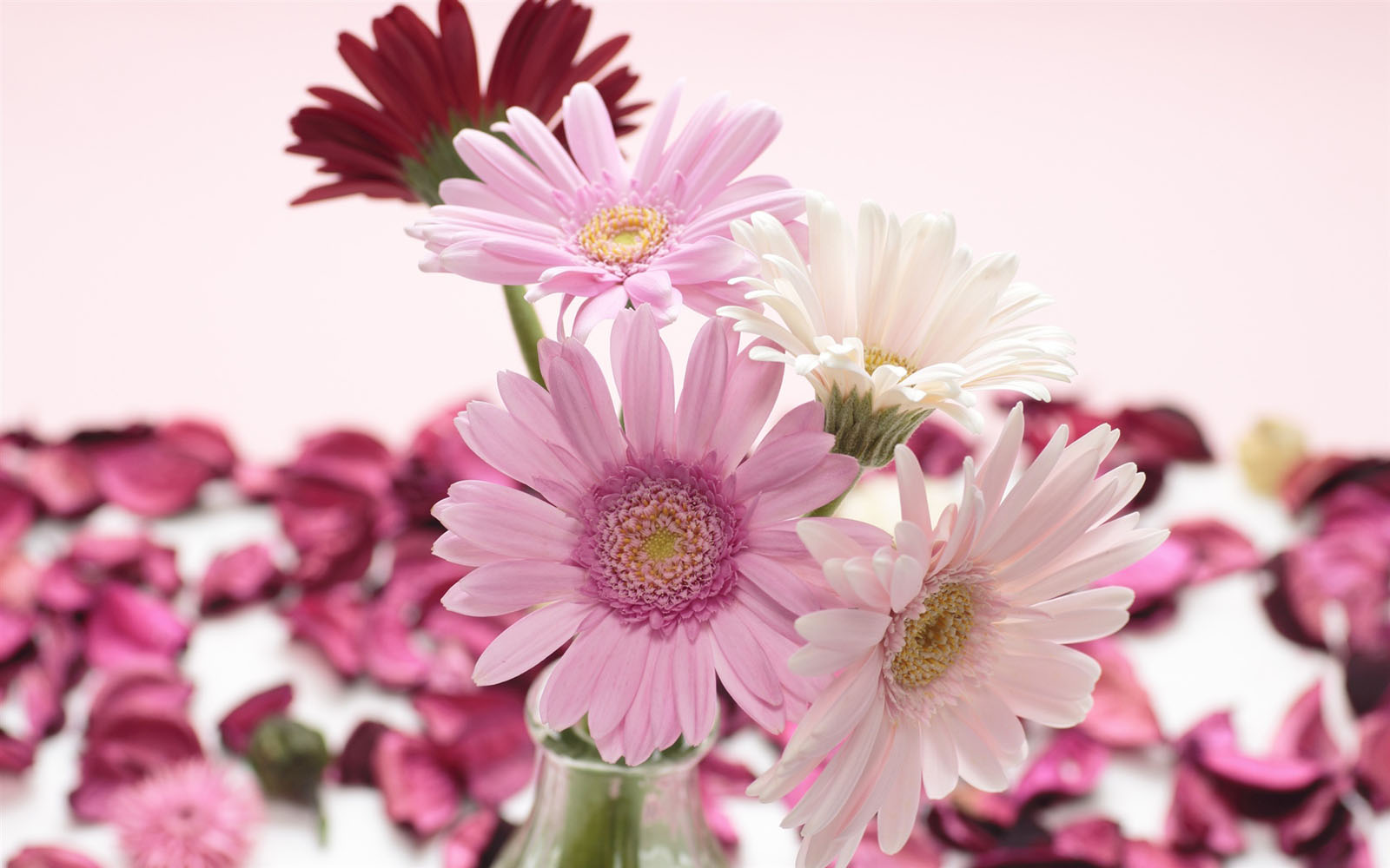wallpapers Gerbera Flowers Wallpapers 1600x1000