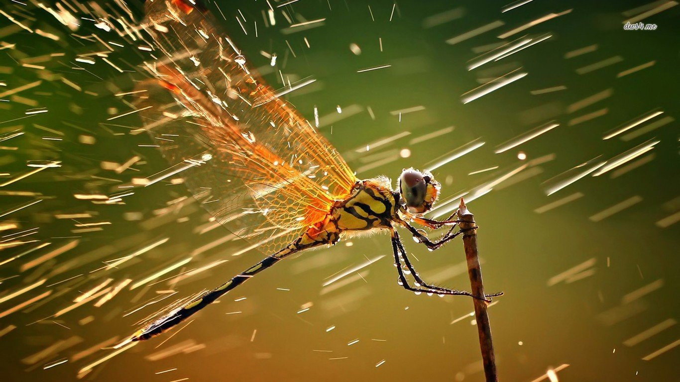 Dragonfly wallpaper   Animal wallpapers   5608 1366x768