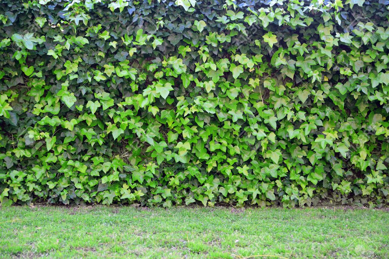 Natural Green Background Ivy Leaves And Grass Floor Wall Copy 1300x866
