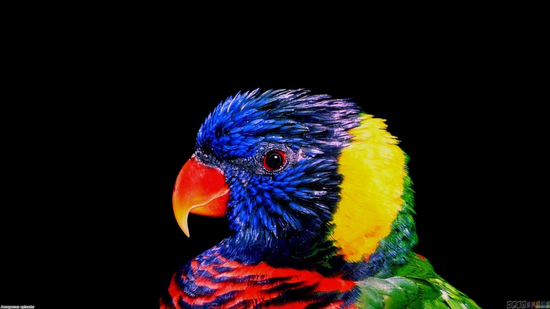 Very colorful parrot wallpaper 4444   Open Walls 1920x1080