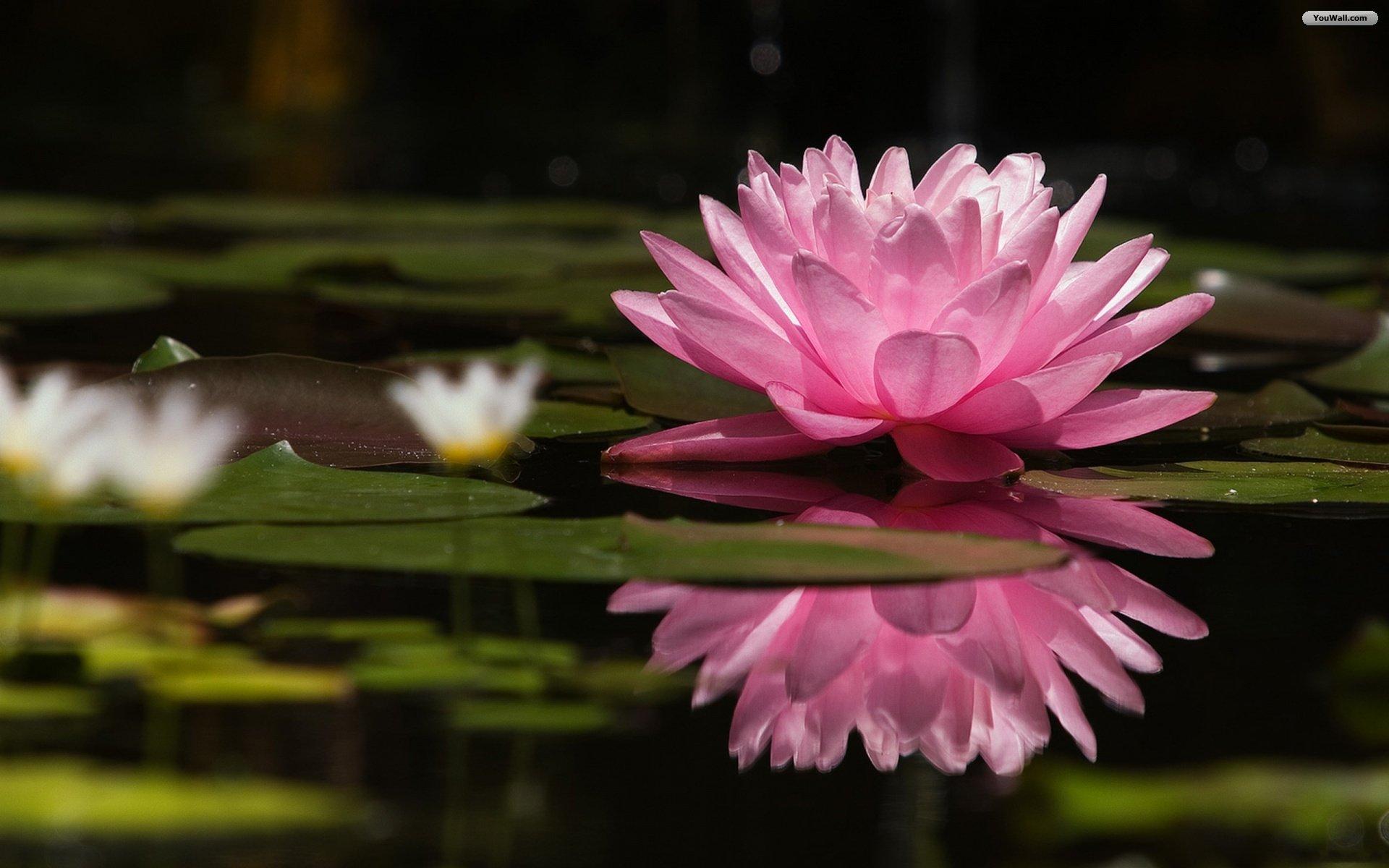 1920x1200px water lotus wallpaper wallpapersafari top 10 most beautiful flowers listcrux 1920x1200 izmirmasajfo
