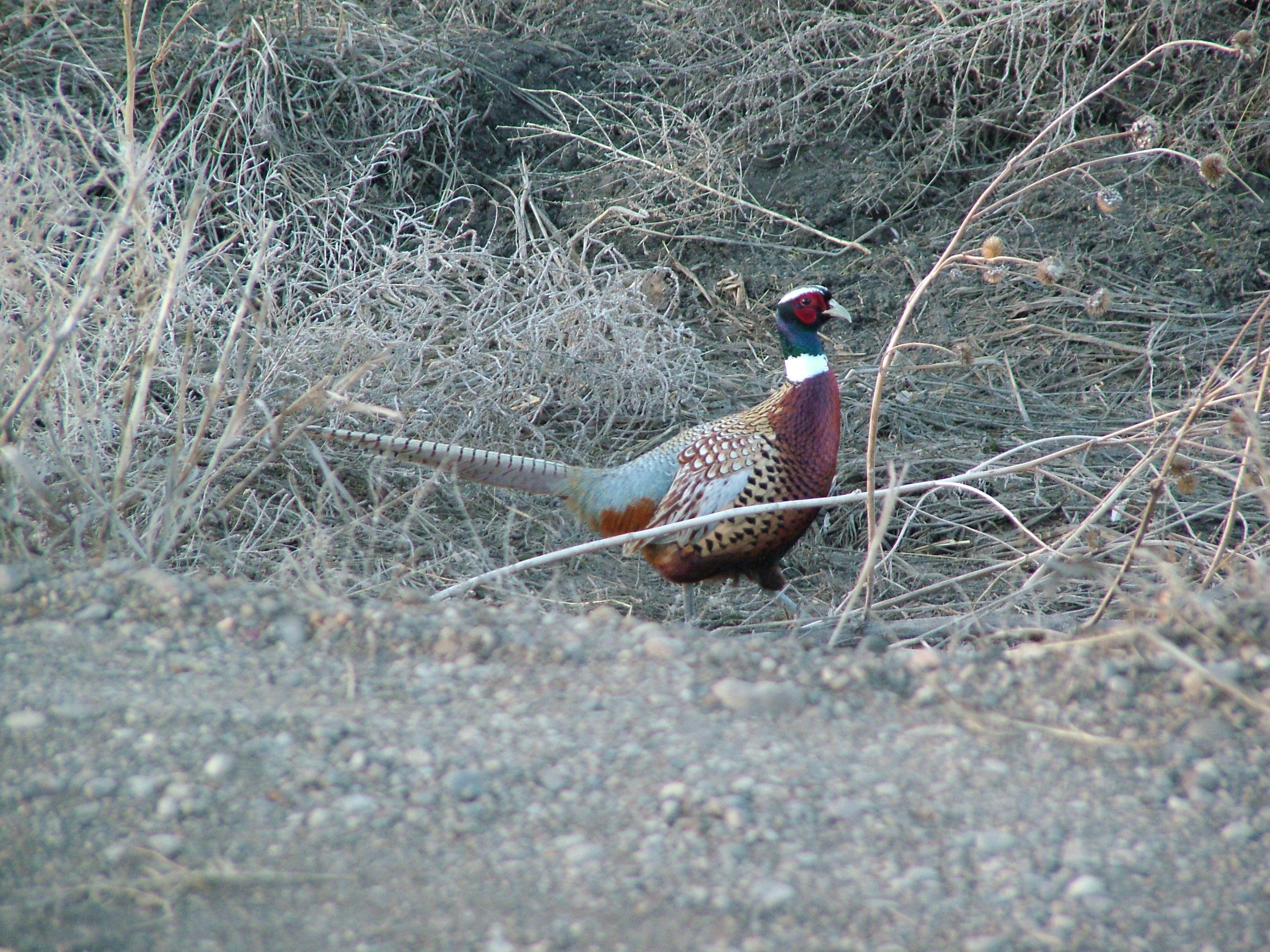 Items similar to Acrylic Pheasant painting - Wildlife Art on Etsy