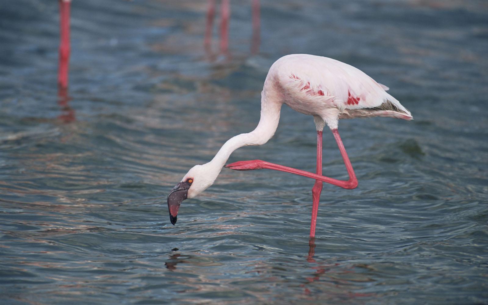 keywords flamingo wallpapers flamingo desktop wallpapers flamingo 1600x1000