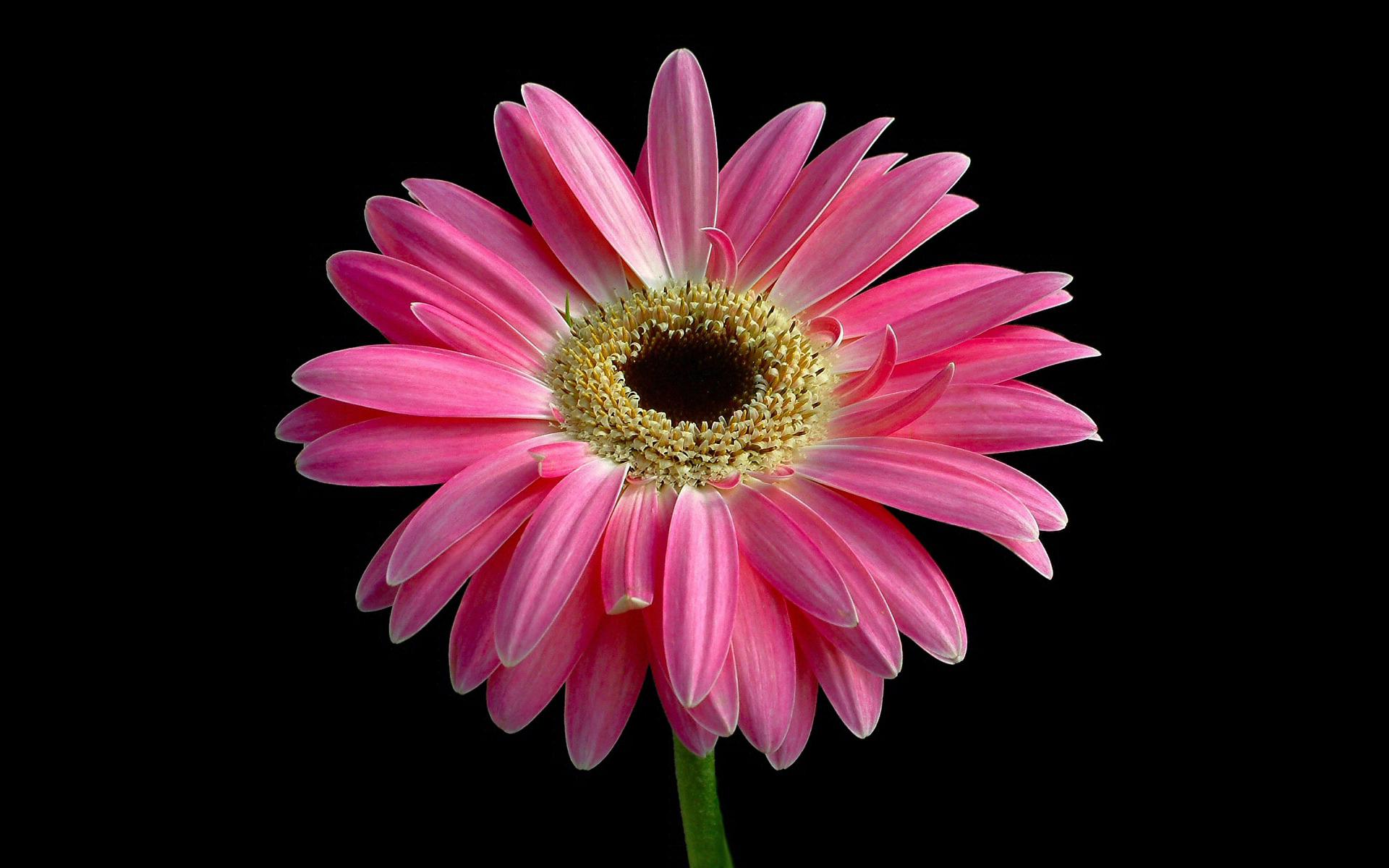 Most Beautiful Pink Flower Wallpaper Hq Wallpapers