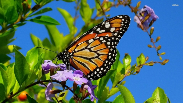 butterfliesmonarch monarch butterflies Butterflies Wallpapers 600x337