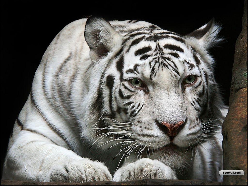 tiger wallpapers desktop wallpapers Cute wallpapers of white tigerjpg 1024x768