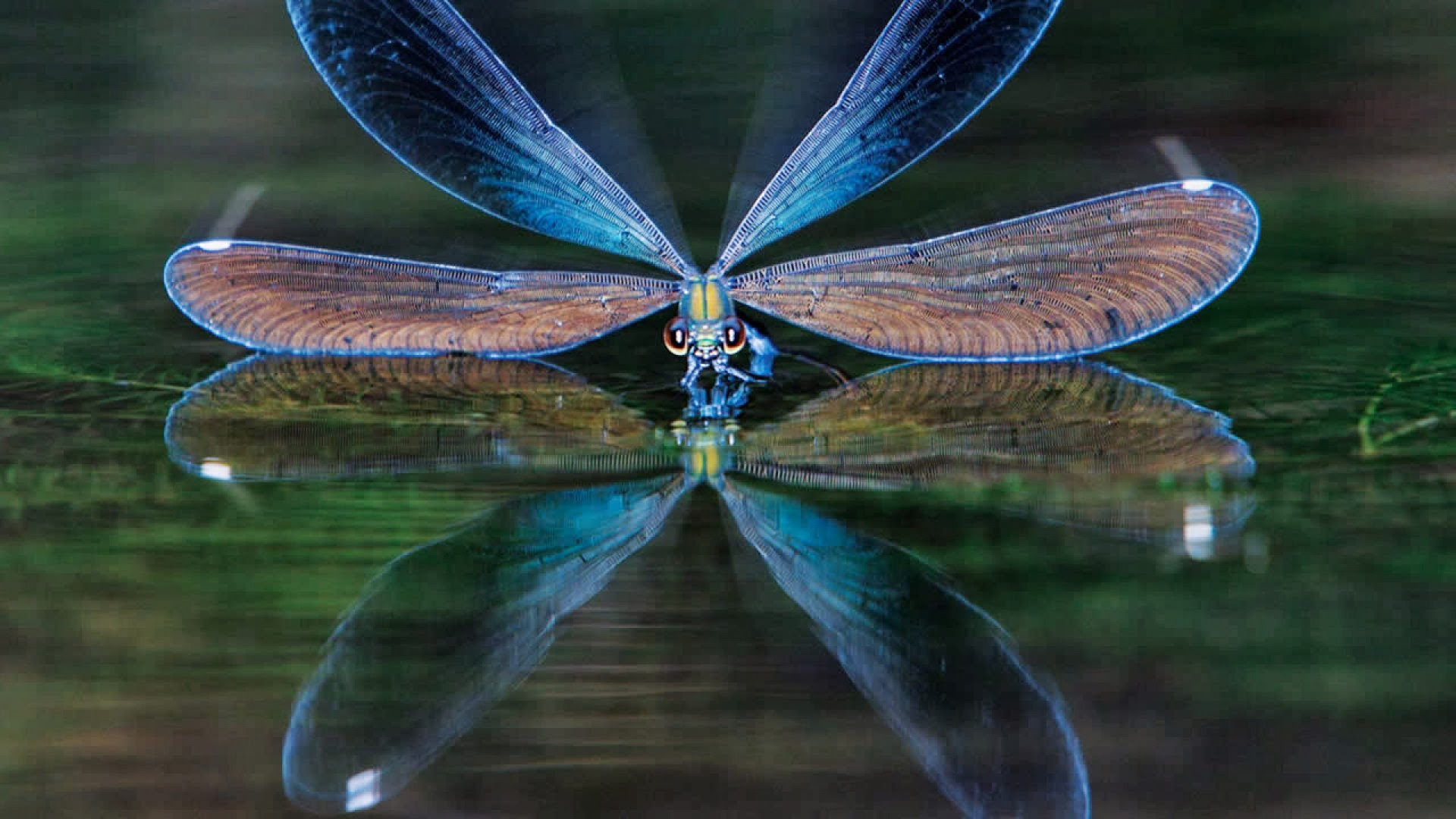 animals wild Insects Others dragonfly blue wallpaper 1920x1080