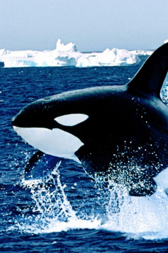 46 Orca Wallpaper Iphone On Wallpapersafari