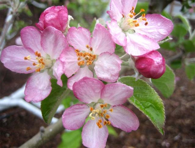 Apple Blossom Wallpapers Wallpaper Bonzy 640x488