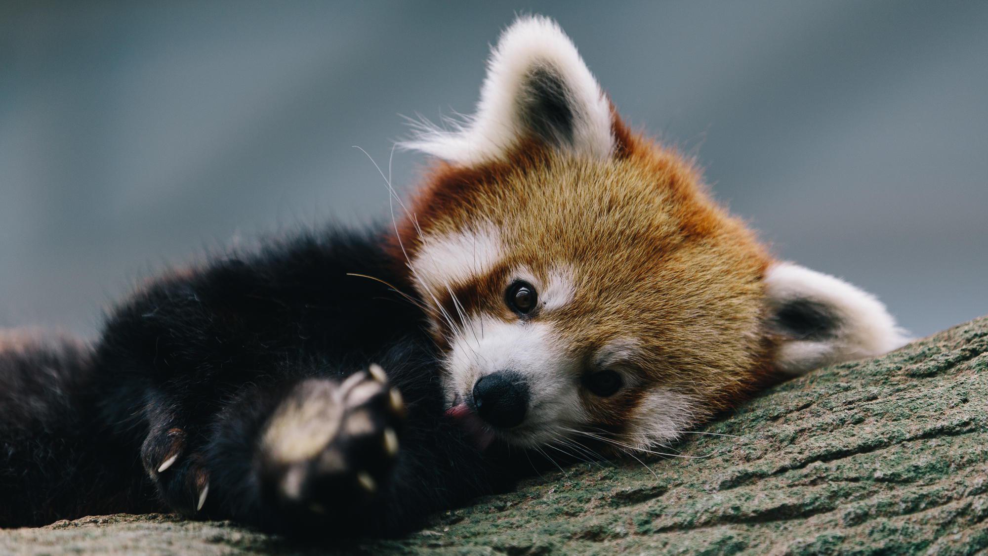 Red Panda Wallpaper HD - WallpaperSafari