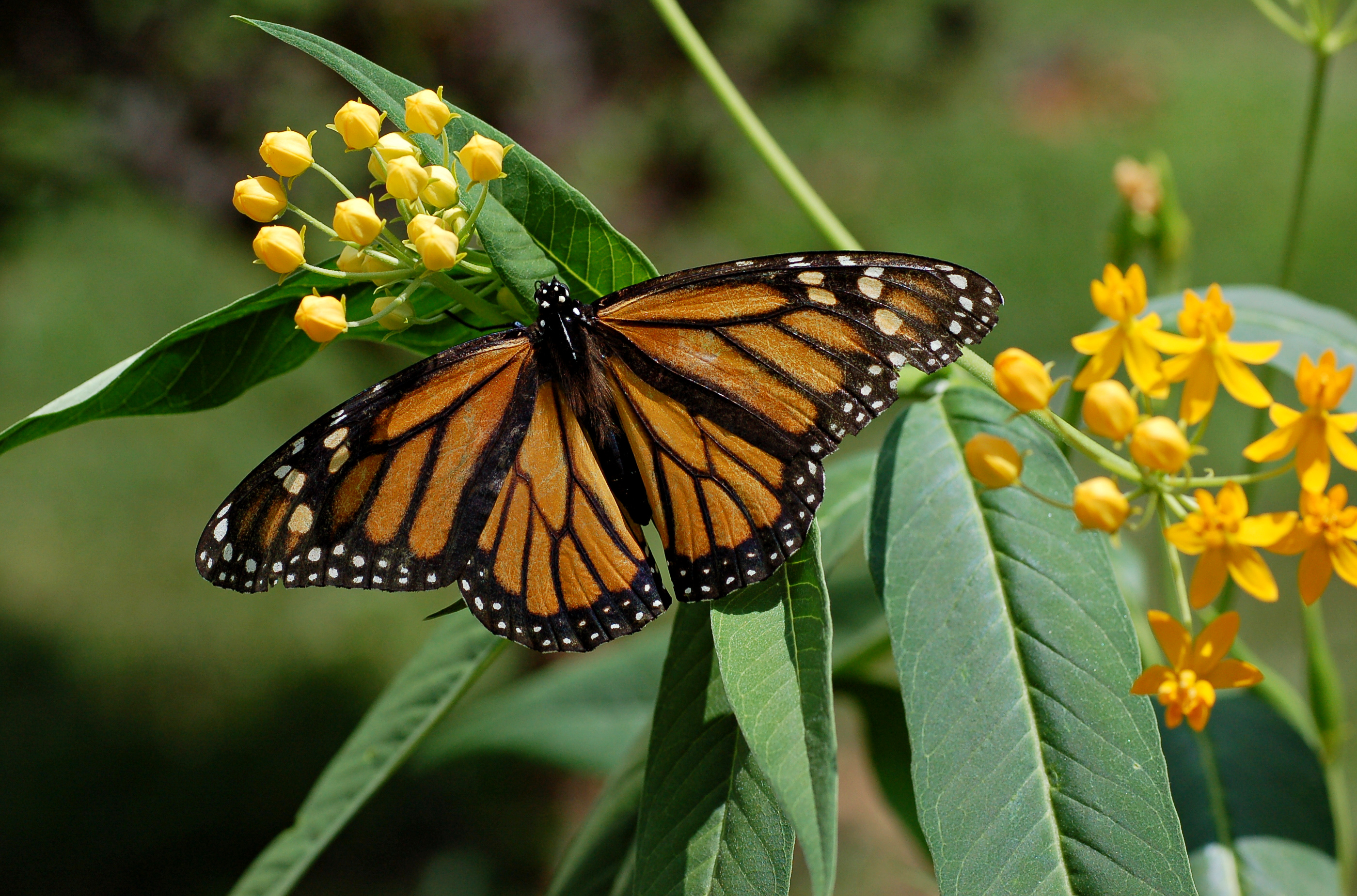 Monarch Butterfly Wallpaper wallpaper Monarch Butterfly Wallpaper hd 2800x1850