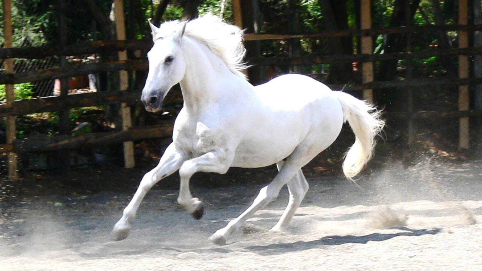 horse beautiful white horse hd wallpapers cute beautiful white horse 1600x900