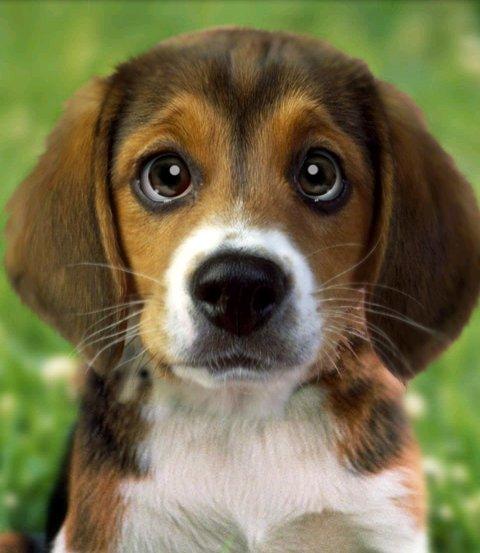 Beagle Screen Wallpaper - WallpaperSafari