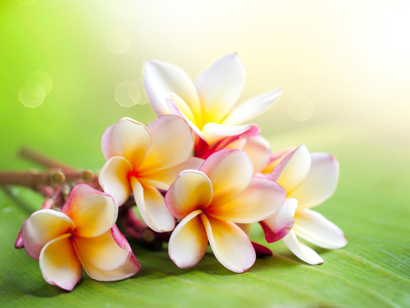 Hawaiian Flower Wallpaper 1600x1200