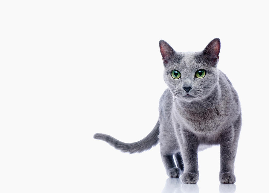 Cat White Ba... White Persian Kitten