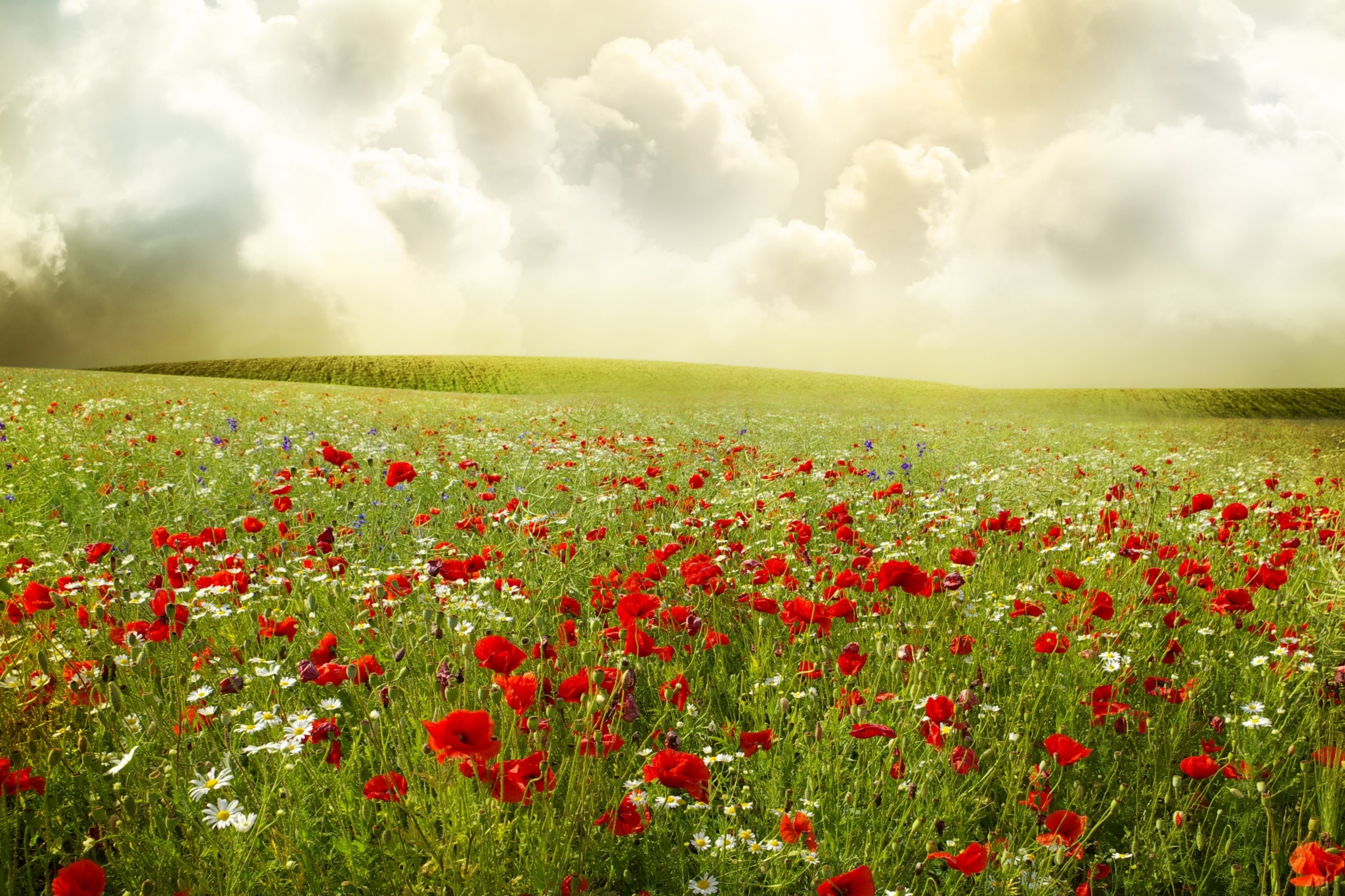 Field of poppies daisies wallpapers and images   wallpapers pictures 3000x2000
