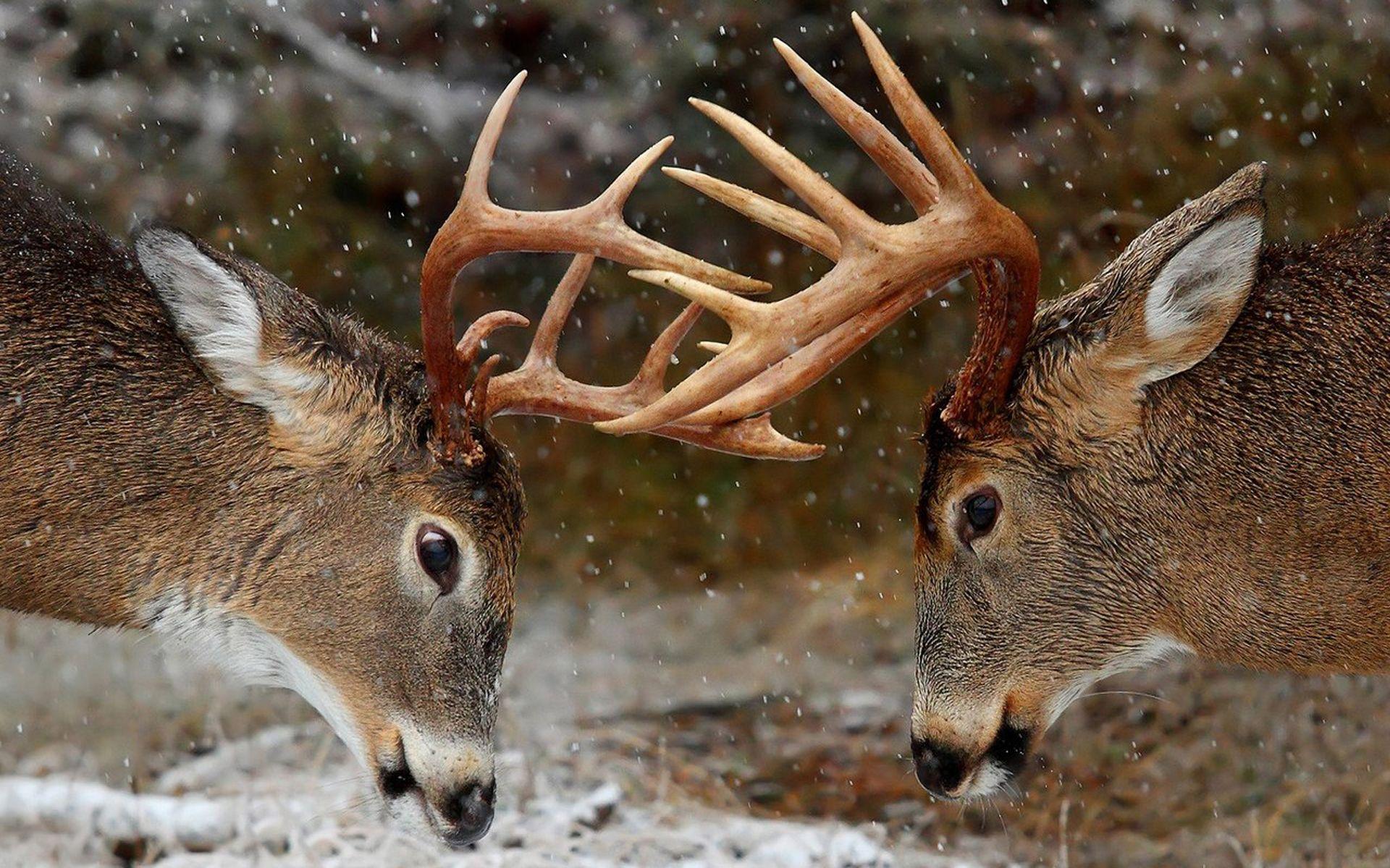 Amazing Two Deer Antlers Wallpaper Desktop Wallpaper Fight Night 1920x1200