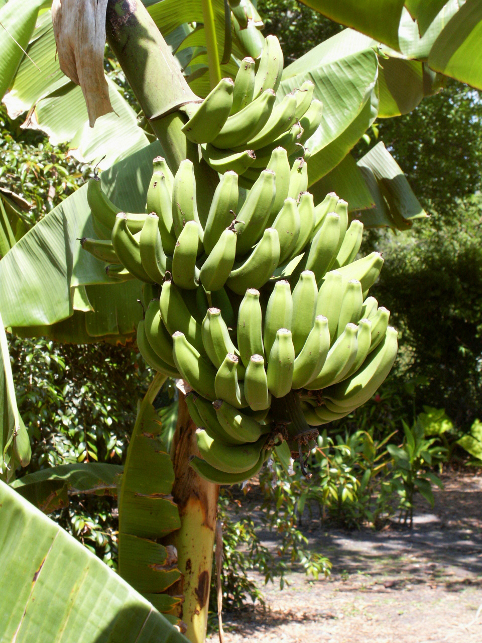 Banana Tree Plant product reviews and price comparison 960x1280
