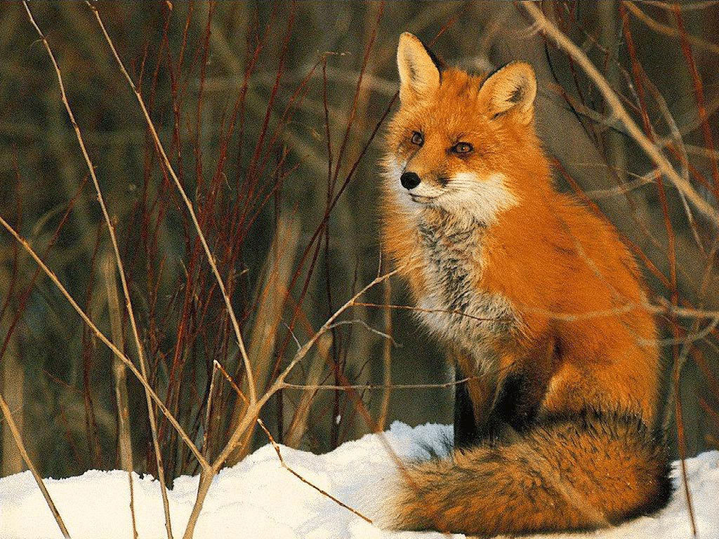 Free Download Red Foxes Images Red Fox Hd Wallpaper And