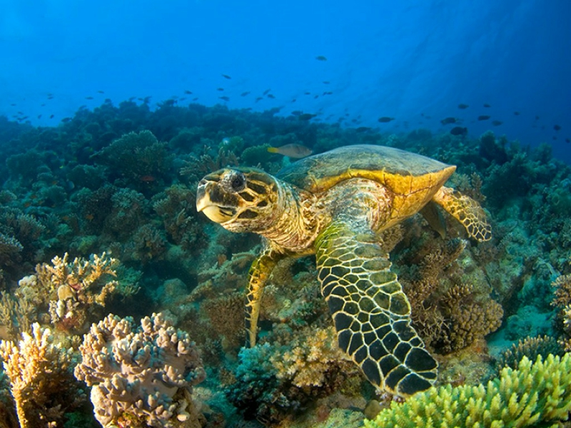 Top 27 Sea Animals Wallpapers In Hd: Sea Turtle Background Wallpaper
